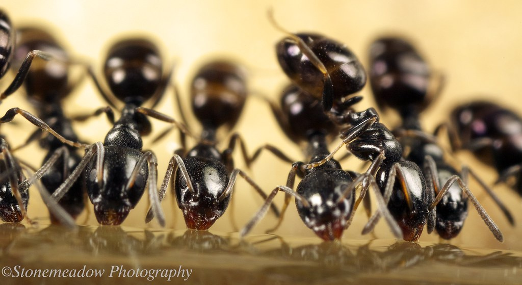 ants feeding macro in photography on forums. Black Bedroom Furniture Sets. Home Design Ideas