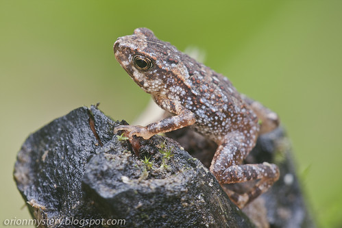Cute little frog (<i>Ingerophrynus divergens</i>)IMG_6724 copy