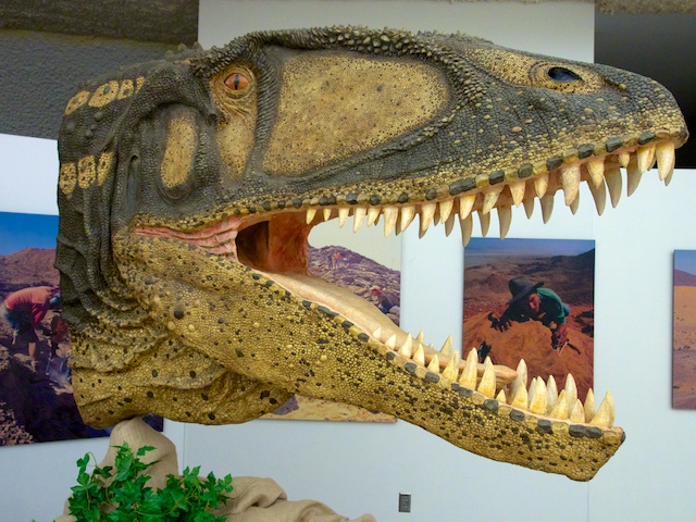 Carcharodontosaurus -- in the flesh