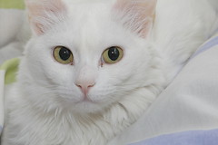 domestic long-haired cat, nose, animal, turkish van, british semi-longhair, white, khao manee, small to medium-sized cats, pet, burmilla, turkish angora, close-up, cat, carnivoran, whiskers, domestic short-haired cat,