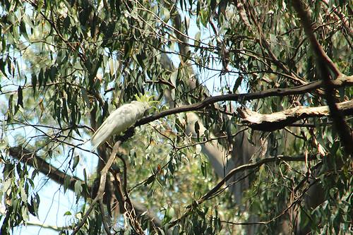 a very loud cockatoo