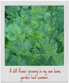 dill in my garden