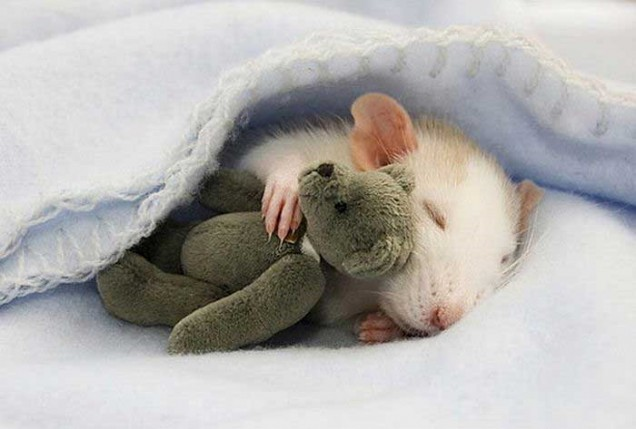 rat-sleeping-with-teddy-bear