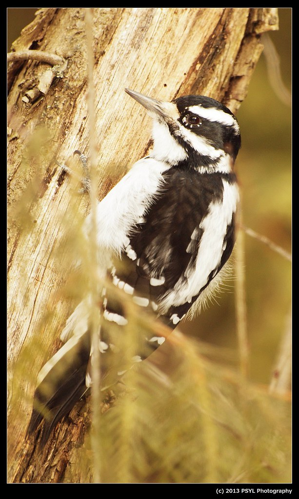 Hairy Woodpecker (Picoides villosus)