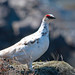 Male ptarmigan (Alan Bevis)