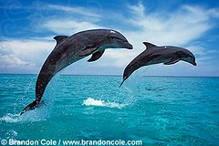 animal, marine mammal, common bottlenose dolphin, marine biology, short-beaked common dolphin, dolphin, rough-toothed dolphin, tucuxi,