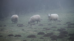 moutons brumeux / misty sheeps - Photo of Gouy-en-Ternois