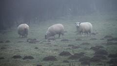 moutons brumeux / misty sheeps - Photo of Magnicourt-sur-Canche