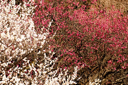 紅白梅 - Red and White Plum Blossoms