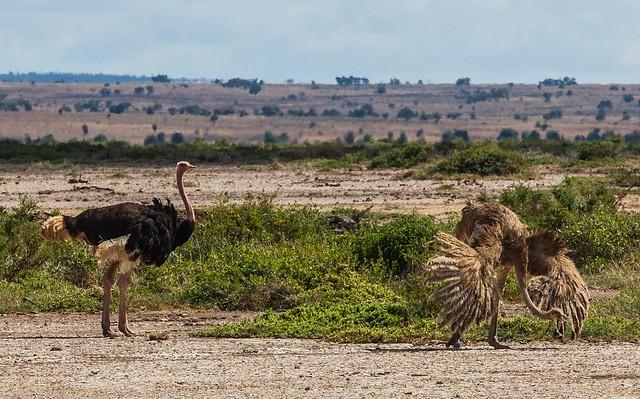 Avestruces en el Parque Nacional de Amboseli, Kenia