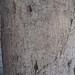 Garden Inventory: Ficus benjamina - 5