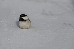 Snowy Chickadee_42388_.jpg by Mully410 * Images
