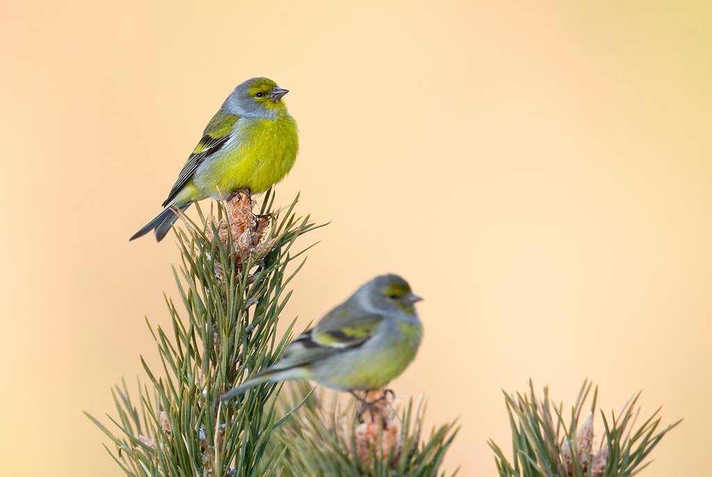 Venturone alpino - Citril Finch