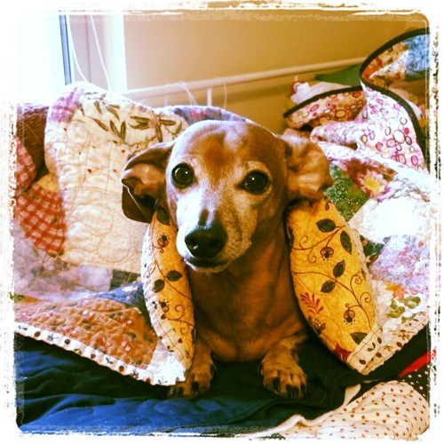 Max is waiting impatiently for me to start binding a quilt so he can sit on my lap.... #dachshund #Maxierules