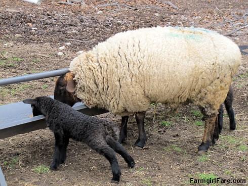 Curious little lambs (4) - FarmgirlFare.com