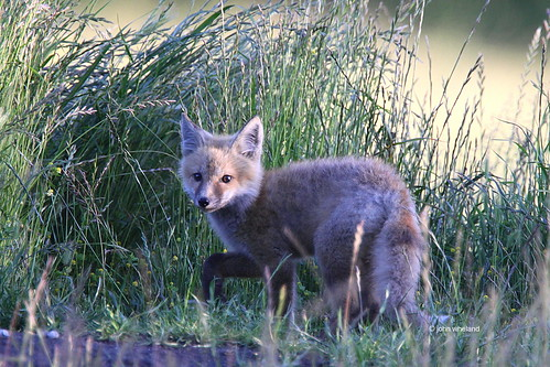 Red Fox--Oregon