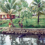 kerala_backwater_buffalo_kids