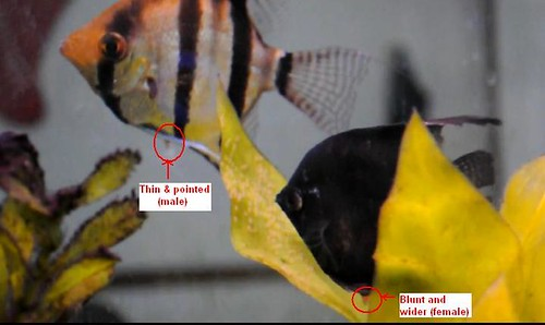 male female angelfish