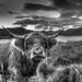 Highland Cow - Loch katrine by Chris Stores