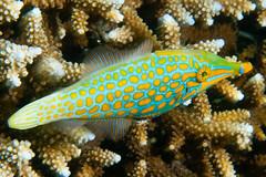 Longnose Filefish - Oxymonacanthus longirostris