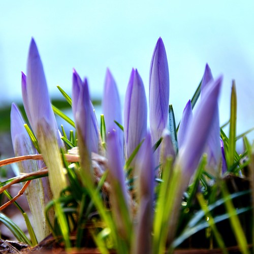 The crocuses are coming, the crocuses are coming!