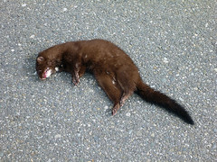 whiskers(0.0), animal(1.0), weasel(1.0), mustelidae(1.0), mammal(1.0), fauna(1.0), marten(1.0), polecat(1.0), viverridae(1.0), mink(1.0),