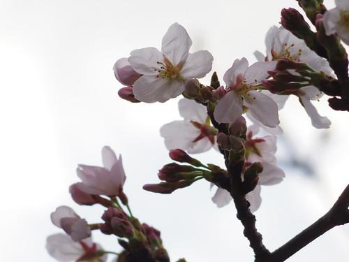 Sakura bloom in Tokyo 03