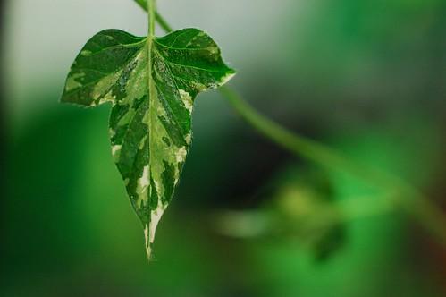 Q0255 Ipomoea nil leaf by Gerris2
