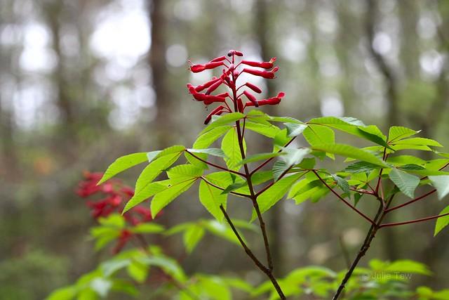 Red Buckeye