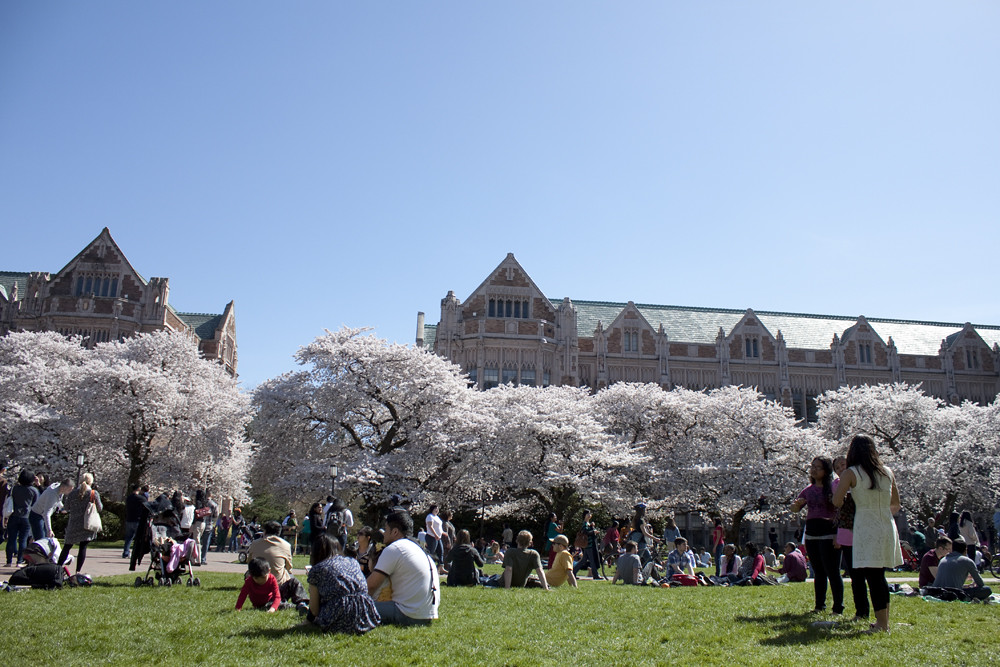 Cherry Blossoms at University of Washington 4