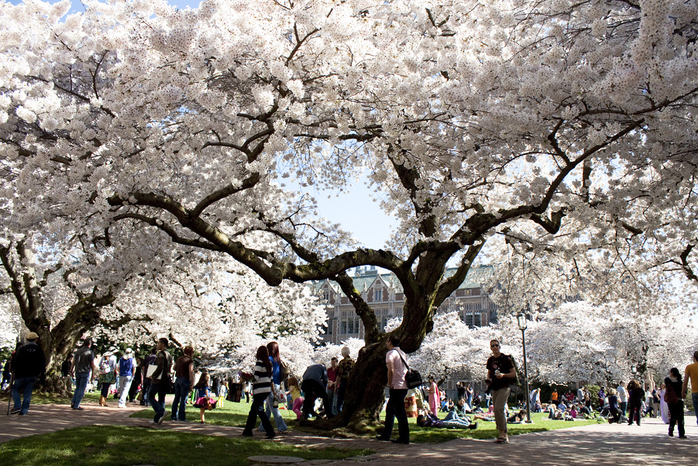 Cherry Blossoms at University of Washington 2