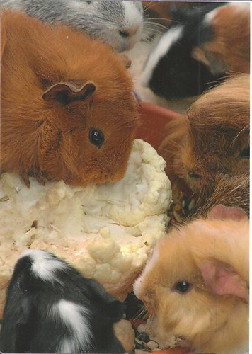 Guinea Pigs Eating Cauliflower