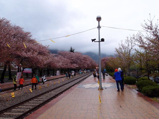 韓國鎮海櫻花@慶和火車站