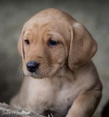 Gundog puppies