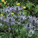 Queen of the Alps (Eryngium alpinum)