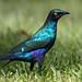 Estorninho-grande-d'orelha-azul / Greater blue-eared glossy starling by António Guerra