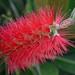 Bottle brush flower. by Janice 20