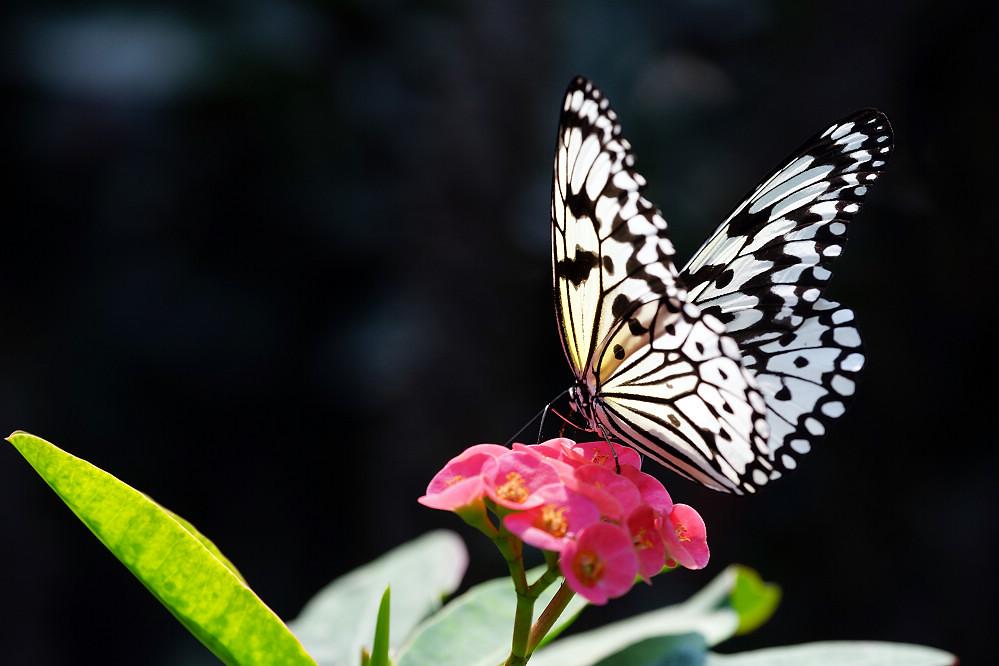 蛺蝶科白斑蝶屬大白斑蝶-01