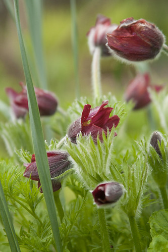 Red Pulsatilla 3