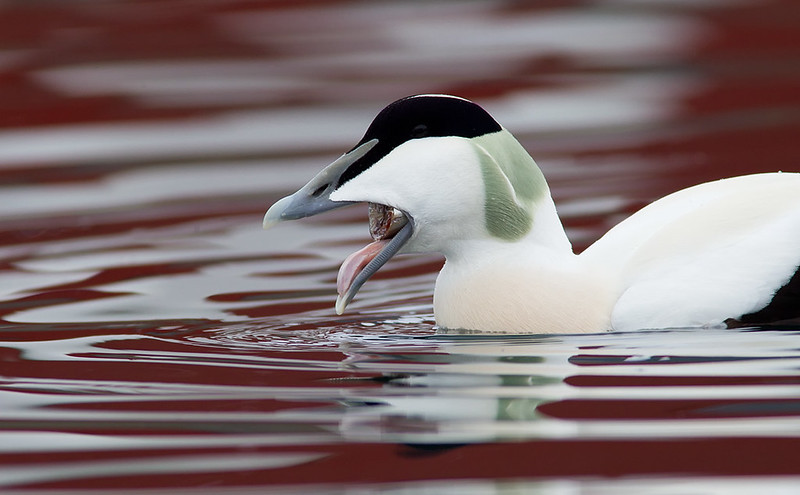 Common Eider (male)