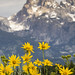 Balsamroot with Grand Teton as Background by Xiang&Jie