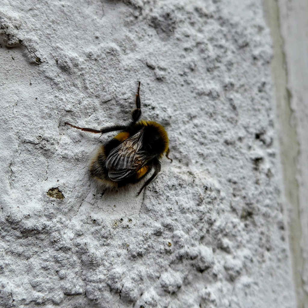 Bee resting on wall