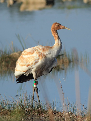 Whooping Crane 12-15 at 0849AM  20130207