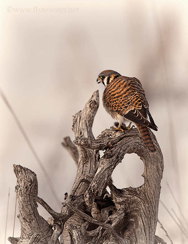 Kestrel Predation on Vole