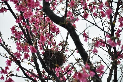 櫻花樹上的鳥巢