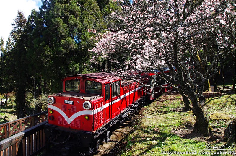阿里山吉野櫻之旅