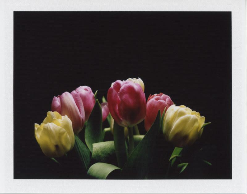 Instant tulips
