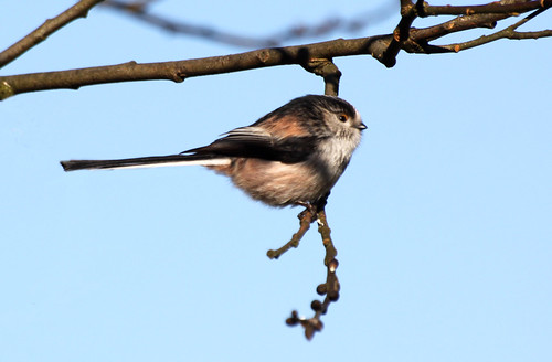 """Long Tailed Tit"""