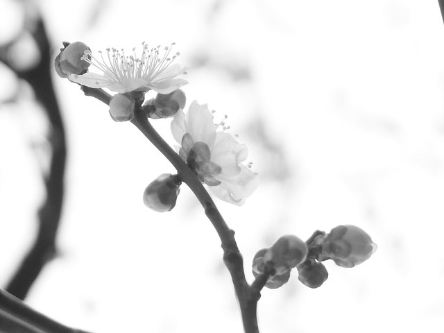 plum-bloom festival 14