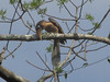 tickells-brown-hornbill